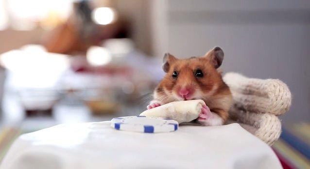 Kleiner Hamster Grosse Aufmerksamkeit Und Ein Mini Burrito