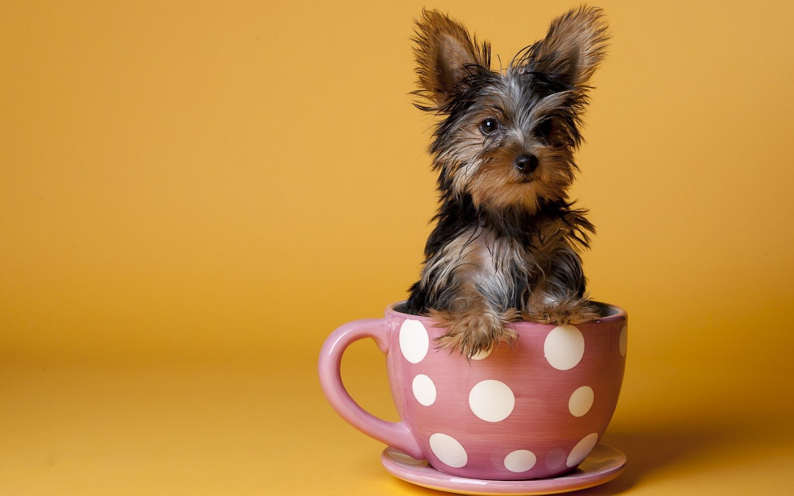 Pin By Bethany Lane On Yorkies Are Angels Yorkshire Terrier Puppies Yorkshire Terrier Yorkie