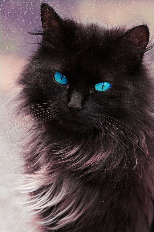 Fluffy Black Kittens With Blue Eyes fluffy black kittens w...