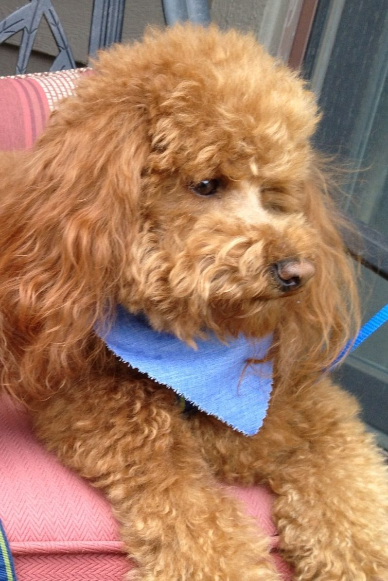 Red Toy Poodle Wyatt Earp Serious Dude Poodle Cute Small