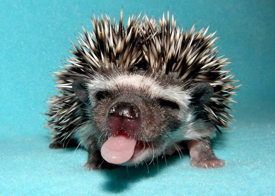 Cute Hedgehogs Cute Hedgehogs That Will Make You Say WOW - Darcy cutest hedgehog ever