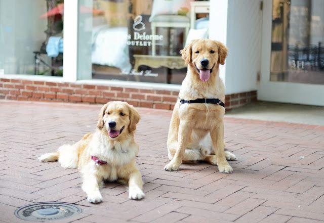 Aspen And Roy Half Siblings Half Siblings Golden Retriever