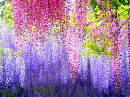 Our Creator's love is beyond beautiful and resounds in flowers. #wisteria