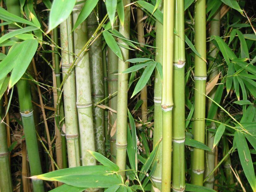 Historia, usos, y el cultivo de la planta de bambú | Plants, Grasses ...