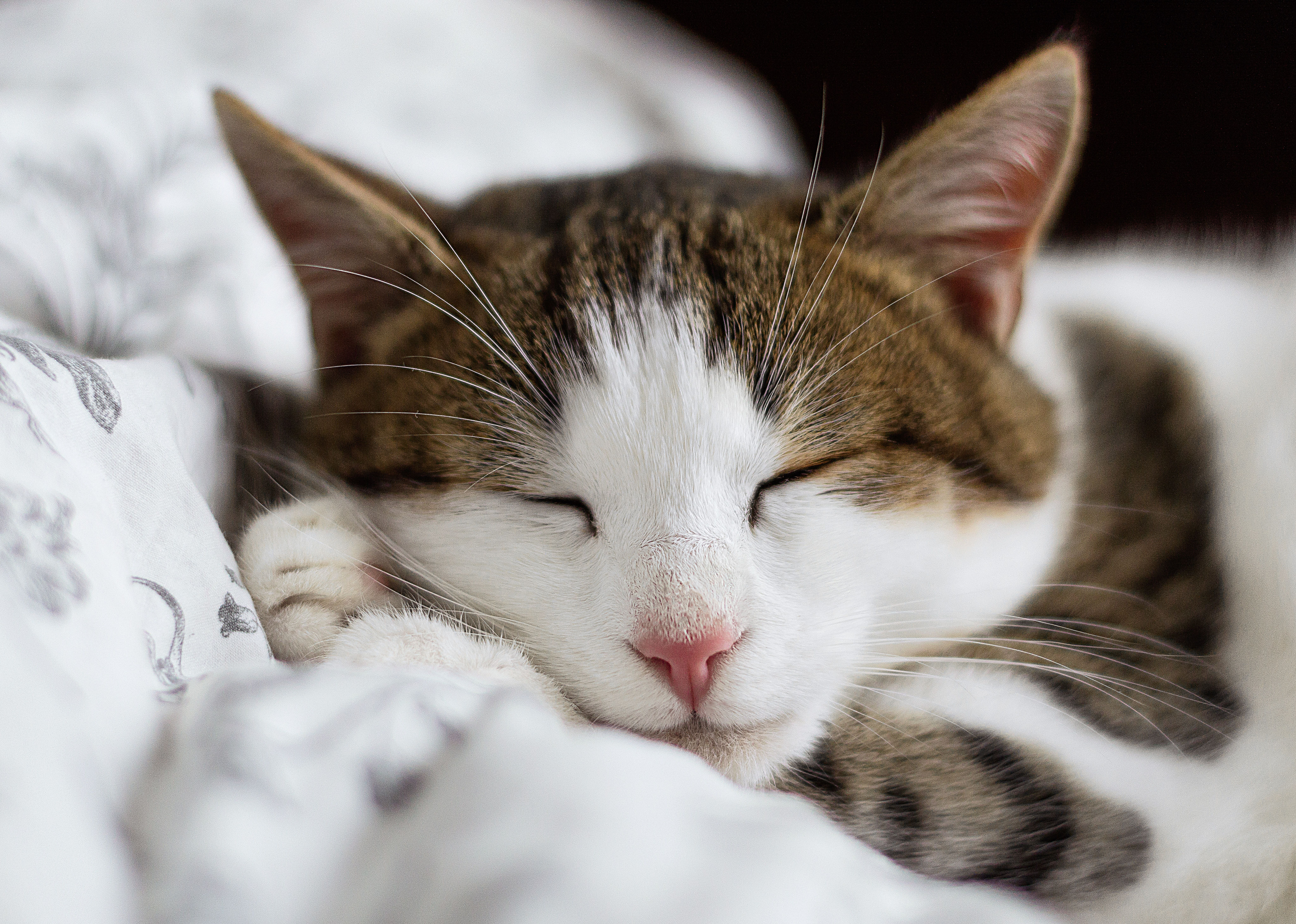 Close Up Of A Sleeping White And Brown Tabby Cat With Images