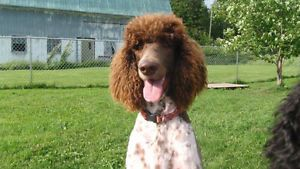 Brown And White Parti Standard Poodle Moncton New Brunswick