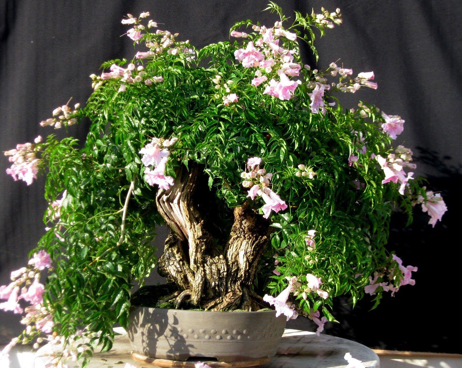 bignonia bonsai