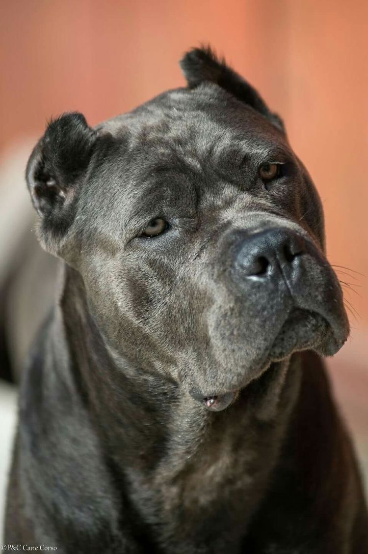 Pin By Gerard Wilder On Dogs Cane Corso Black Pitbull Cane Corso Cane Corso Dog Corso Dog