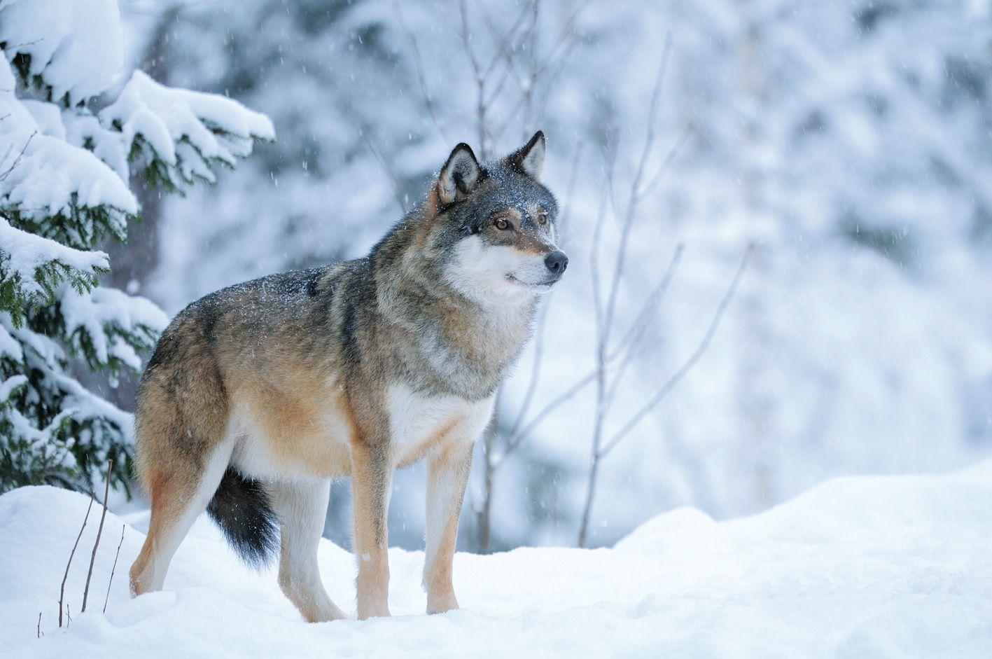 Wolf Im Schnee Wolf Spirit Animal Wild Wolf Wolf Warriors