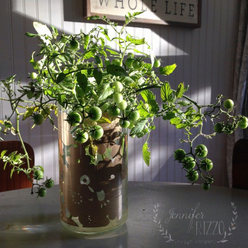 Grow Tomato Plants In Water Growing Tomato Plants Plants In