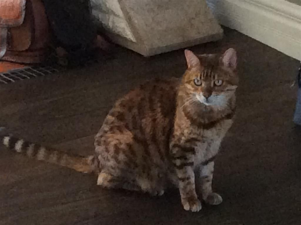 Lost Cat Bengal London On Canada N6c 3t9 Lost Cat Losing A Pet Cats