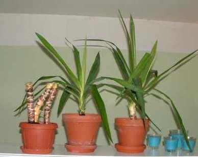 yucca palme vermehrung ableger yucca zimmerpflanzen. Black Bedroom Furniture Sets. Home Design Ideas