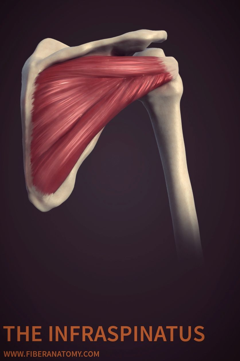 This Image Is An Example From Fiber Anatomy An E Book That Covers