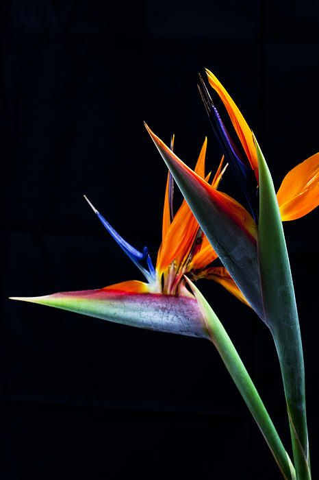 Birds By James Roemmling Birds Of Paradise Flower Birds Of Paradise Plant Flowers Photography