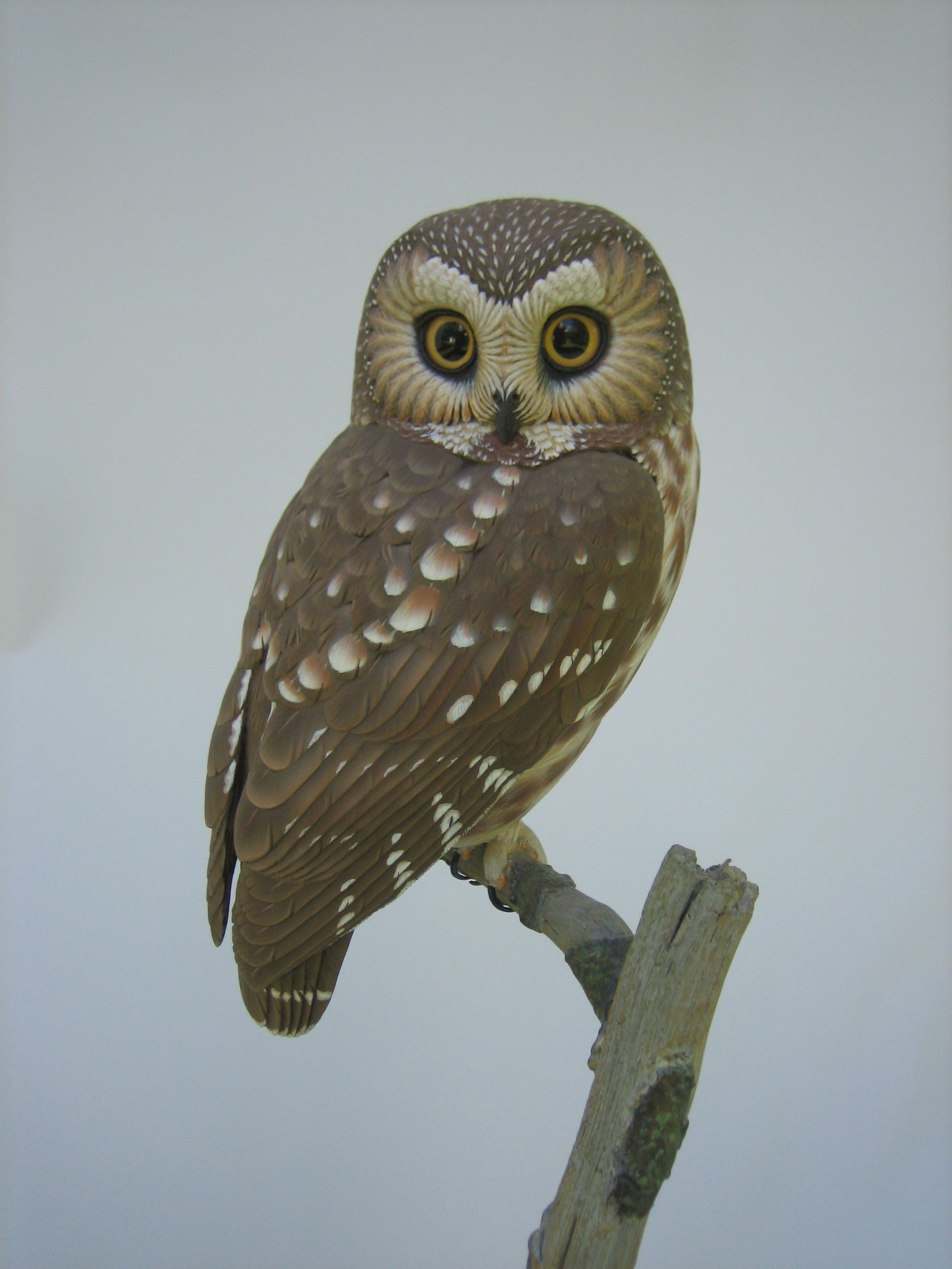 Northern Saw Whet Owl 7 8 Quot Inhabit Mountainous Areas Of