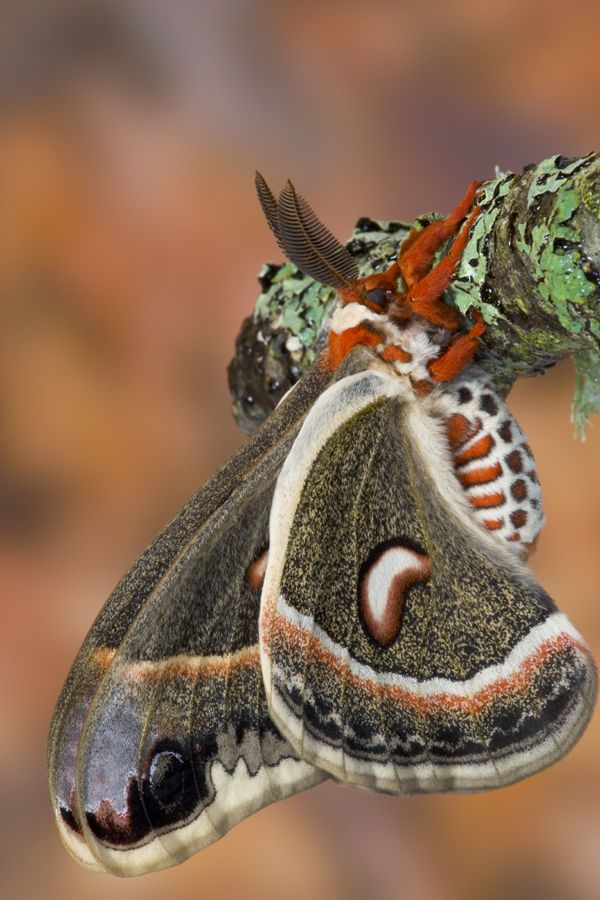 Pin By Martinwrede On Moths Beautiful Photography Butterfly Moth