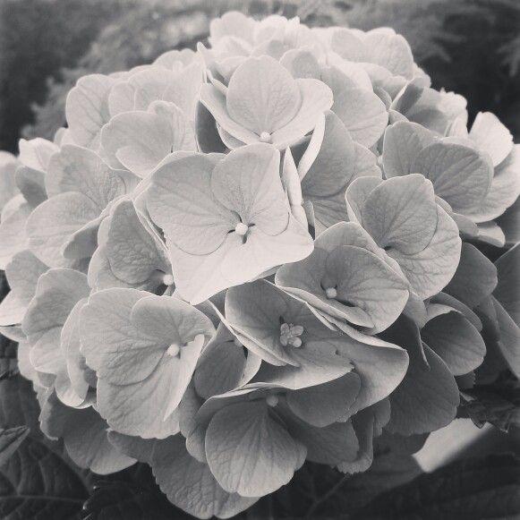 Hydrangea Hydrangea Flowers Hydrangea Flower