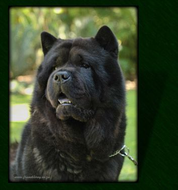 Smooth Chow Chow Http Ciaochows Co Za Images Black Smooth Chow