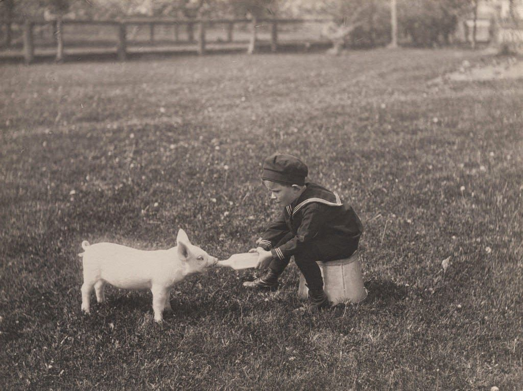 Little boy bottle feeding piglet, ca. 1900's Piglet