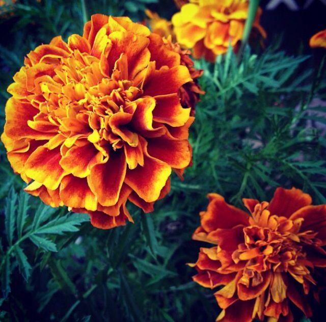 Flor De Muerto Cempas 250 Chil Flores Pinterest