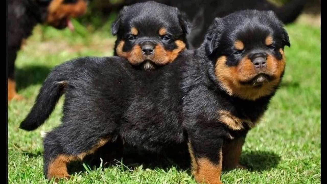 The Traits I Love About The Rottweiler Pup Rottweilerland