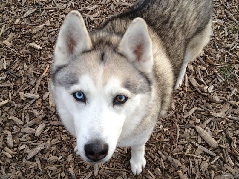 The Siberian Husky Originated In North Eastern Siberia Siberian