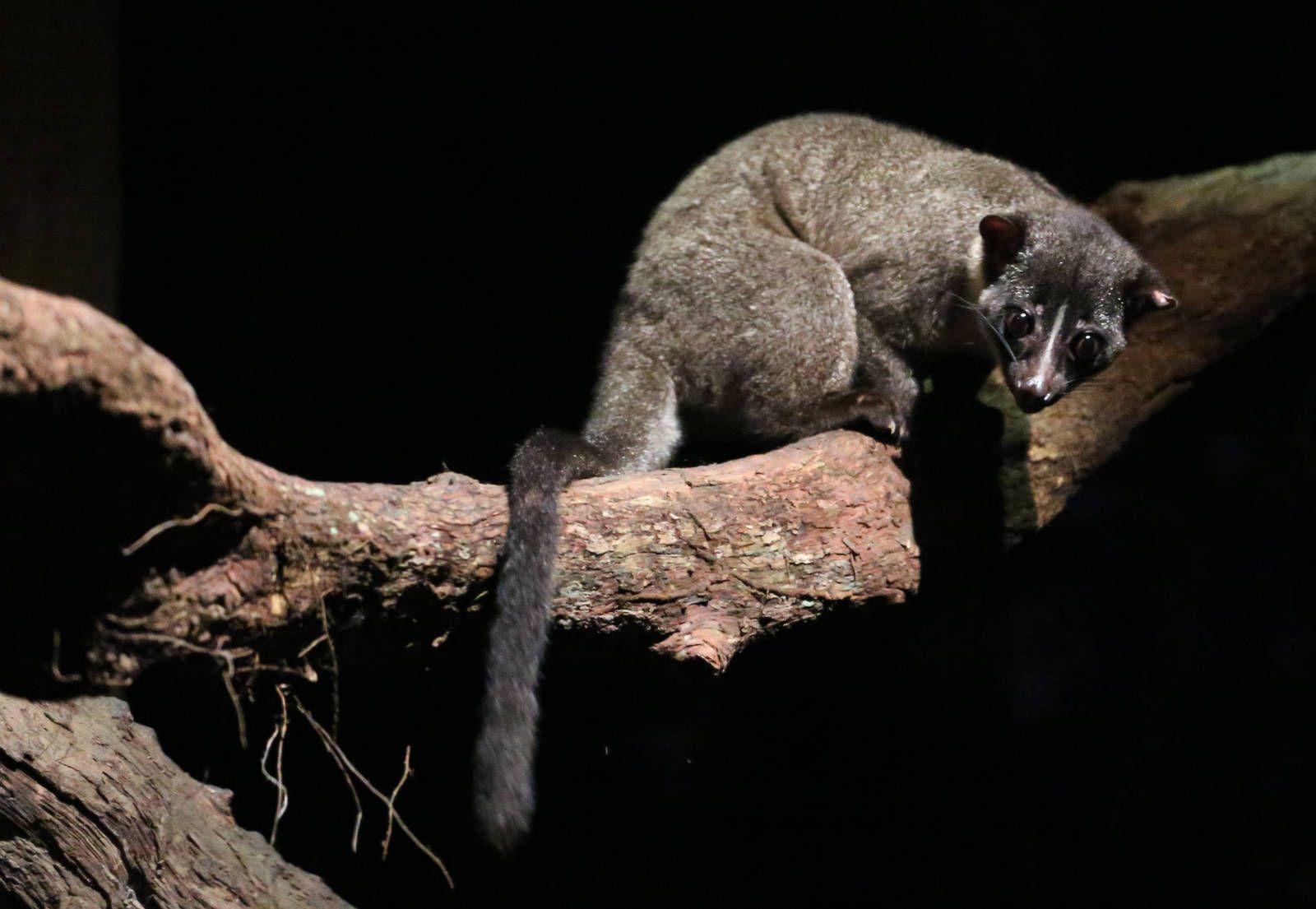african palm civet African, Mammals, Animals