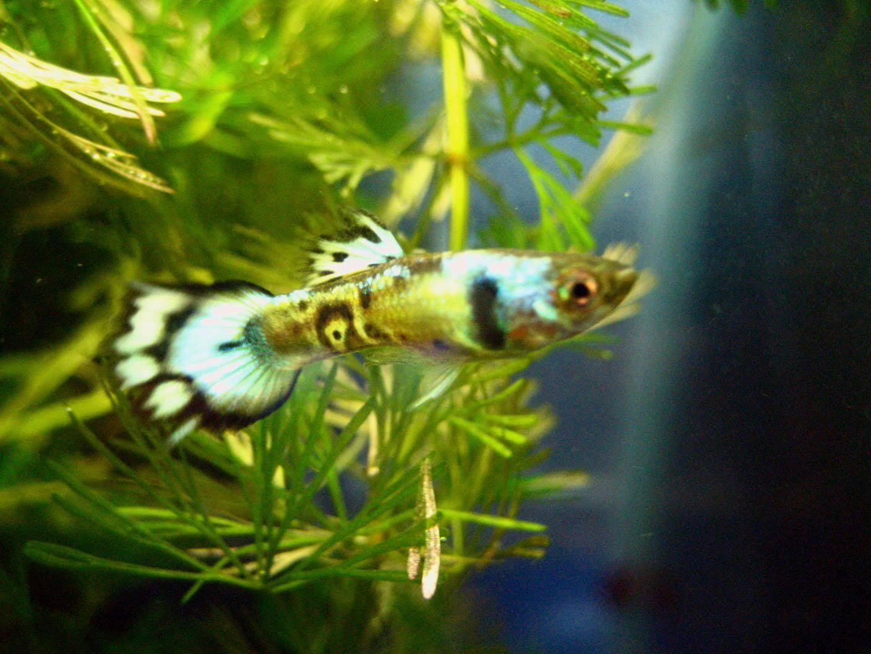 Freshwater aquarium fish species ebook - Metal Blue Grass Swallow Guppy