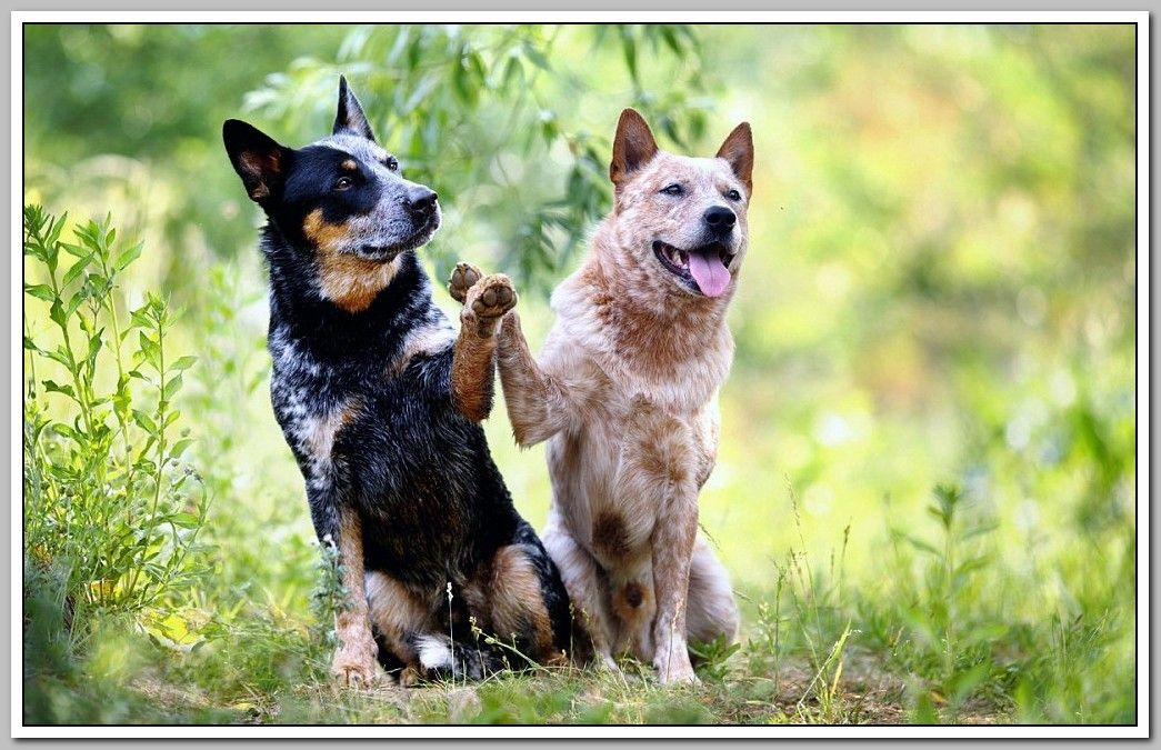 Dogs Need Training Dogs Must Have Aussie Cattle Dog Dogs