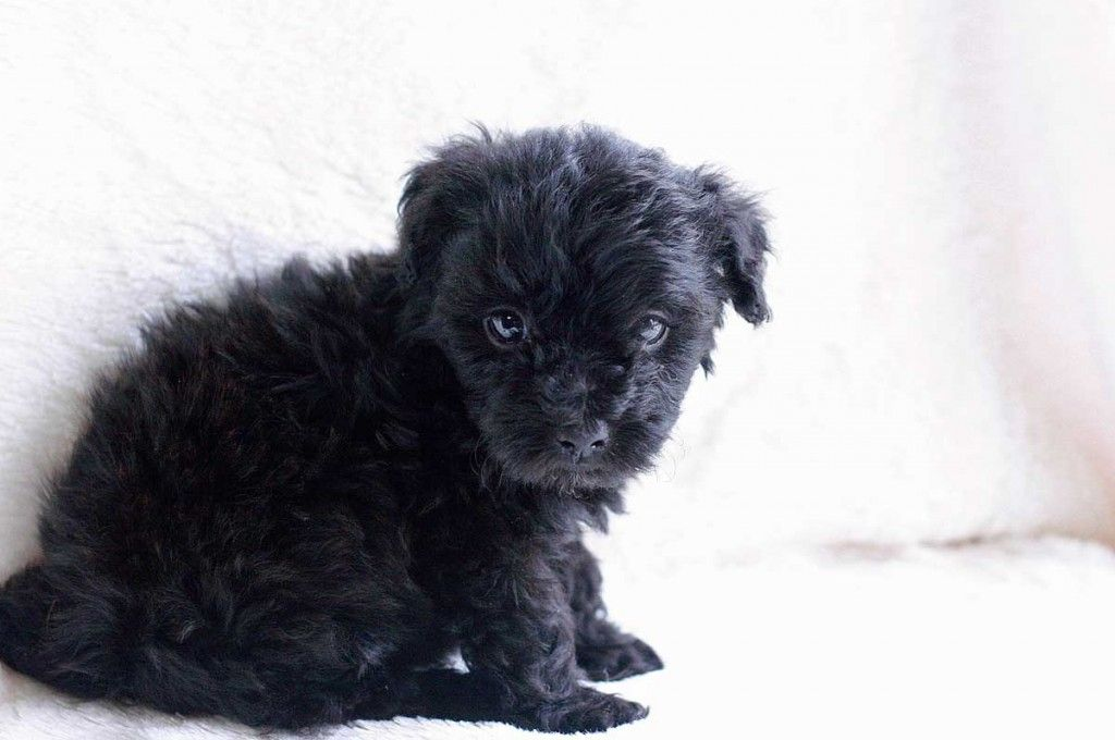 This Is How My Dog Looked The First Day We Brought Him Home Over 5 Years Ago Adamsmorganpet Tacularholidays Yorkie Poo Puppies Yorkie Poodle Yorkie Poo