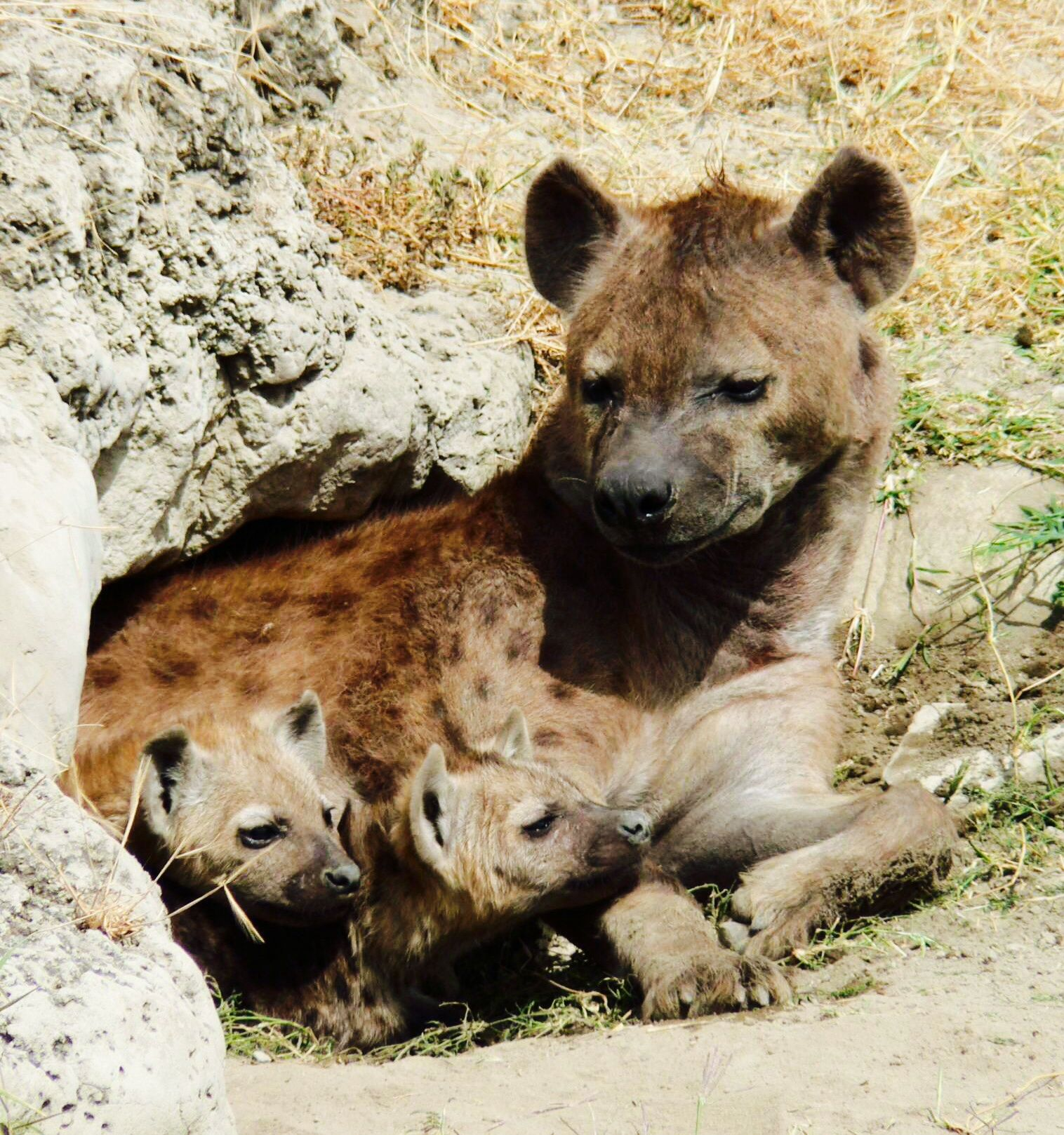 The average spotted hyena litter consists of two cubs, with three ...