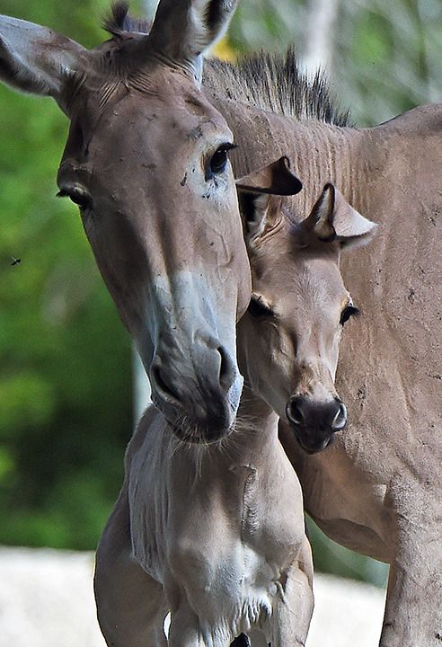 """phototoartguy: """""""" Endangered Somali Wild Ass Born at Zoo Miami """" ☛ http://bit.ly/1H4qgBK Photography from the Zooborn! """""""