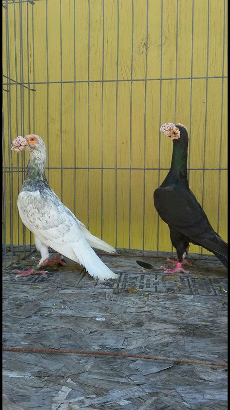 English Carrier  Pigeons Life  Pigeon Breeds, Pet Pigeon -9742
