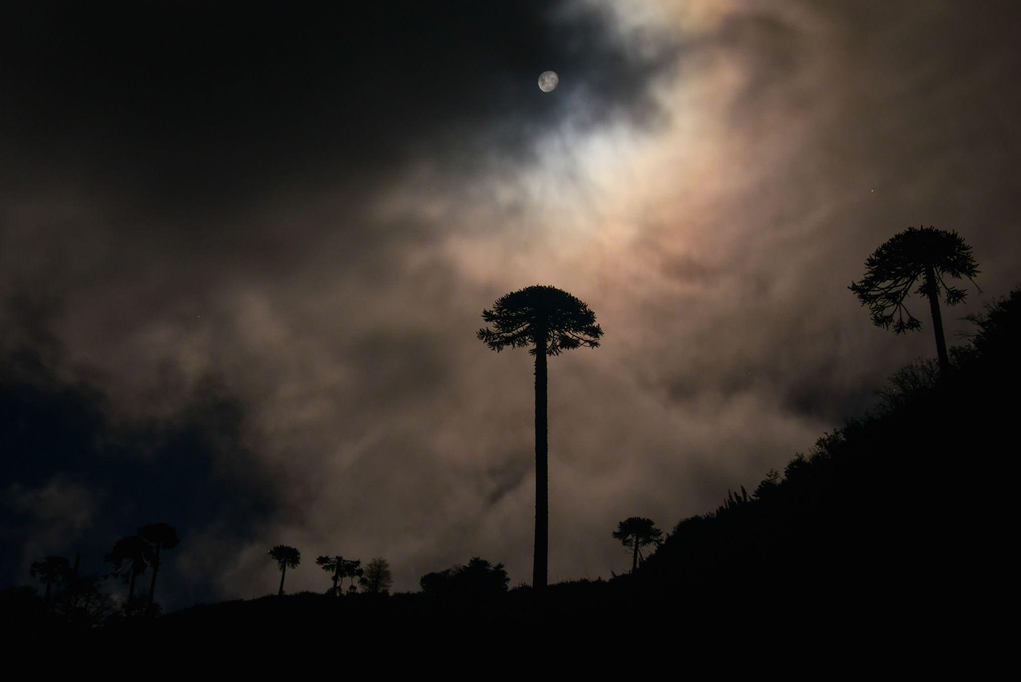 araucaria noche - Noche de Araucanía