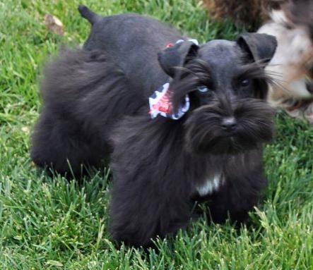 Minature Toy Teacup T Cup Merle Mini Parti Schanuzers For Sale Texas Tx Mini Schnauzer Puppies Miniature Schnauzer Puppies Schnauzer Puppy