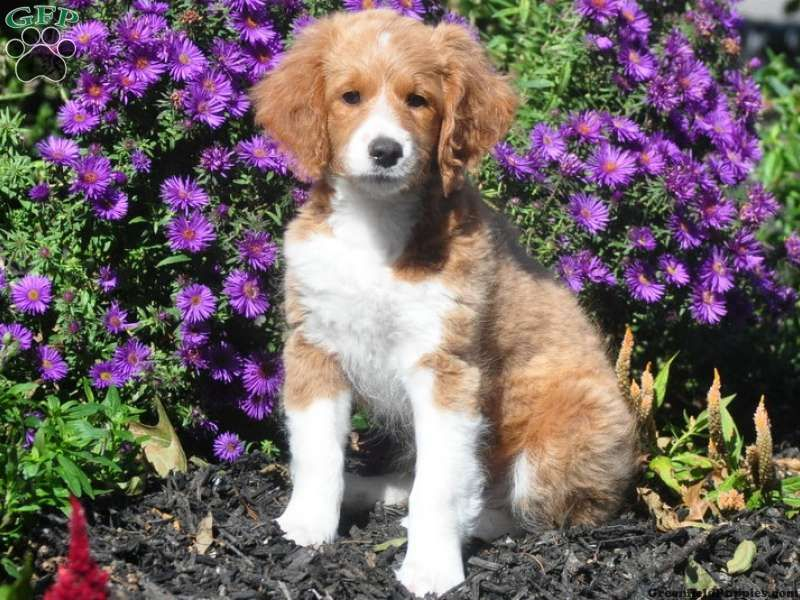Carmela Yellow Labrador Retriever Puppy For Sale in