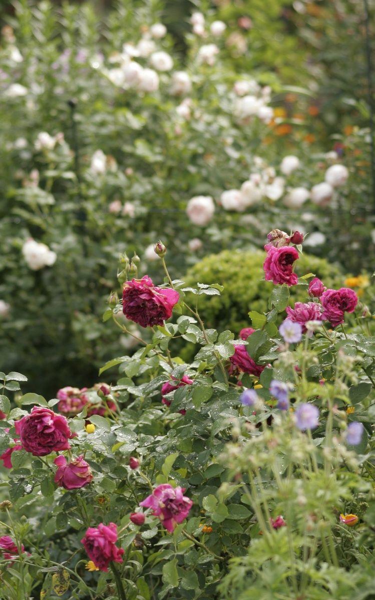einen rosengarten anlegen garten mit pflanzen gestalten rosen beet garten und garten ideen. Black Bedroom Furniture Sets. Home Design Ideas