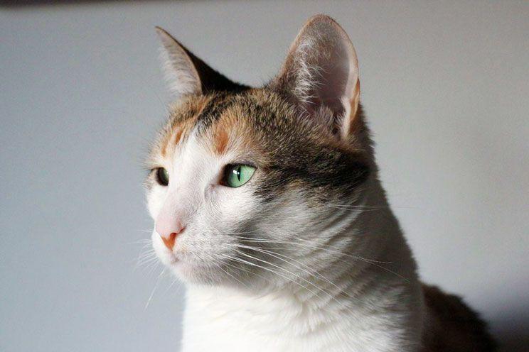 Resultat d'imatges de gatas tricolor