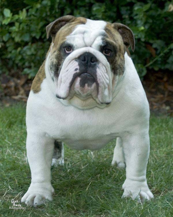 English Bulldog Breeders Washington English Bulldog Dog English Bulldog Bulldog