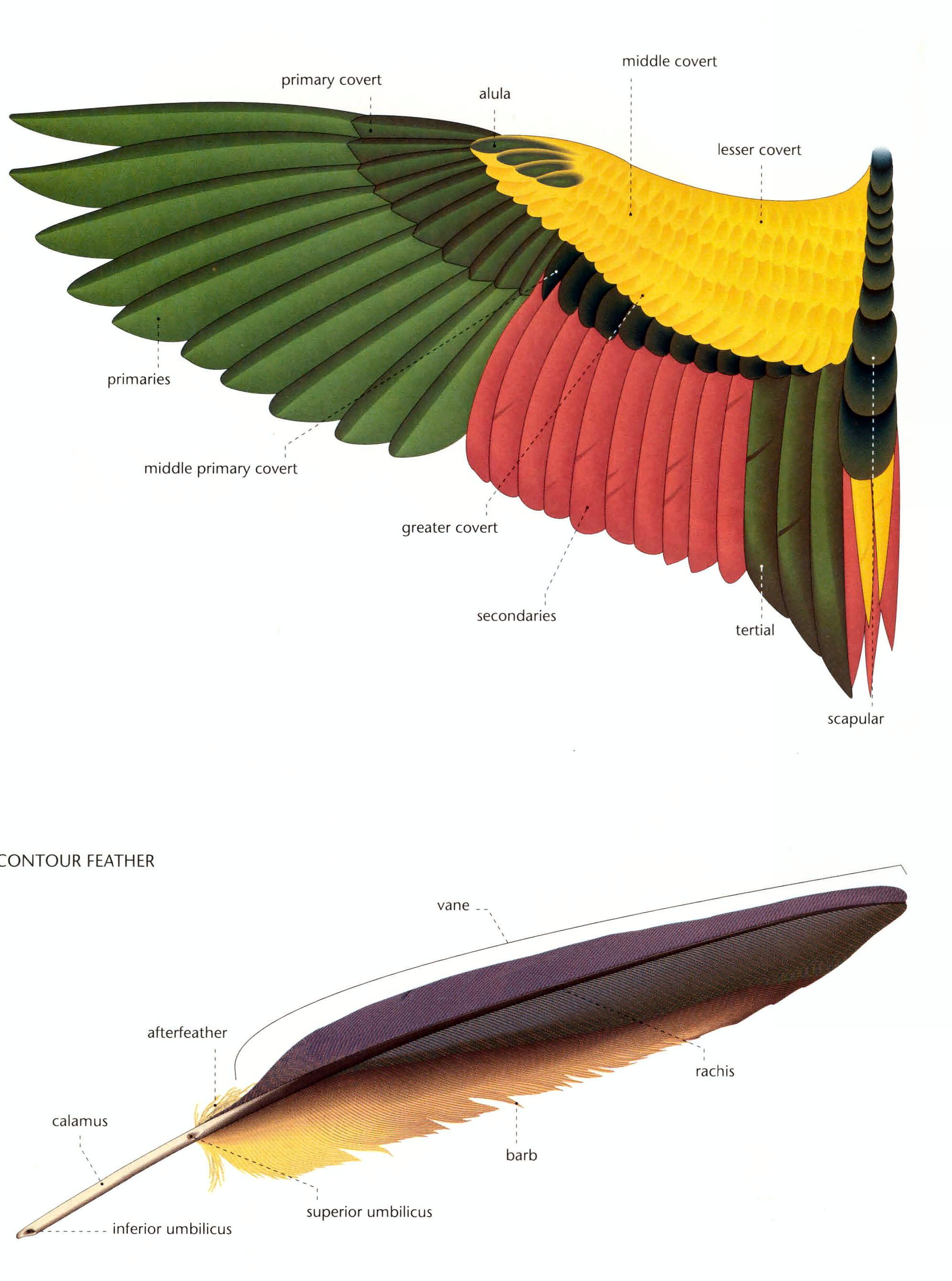 Chicken Wing Diagram Honeywell Heat Pump Thermostat Wiring Pix For Gt Bird Skeleton Wings 4 Pinterest