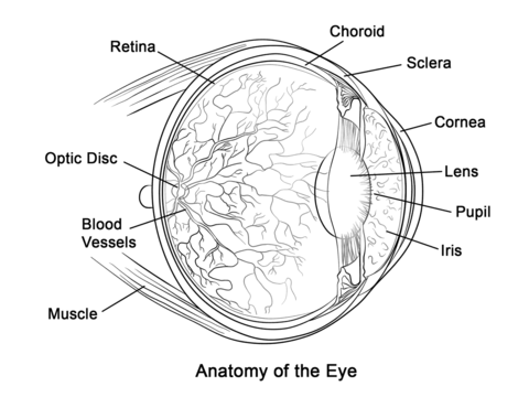 human eye anatomy coloring page from anatomy category select from 24104 printable crafts of cartoons - Anatomy Coloring Pages