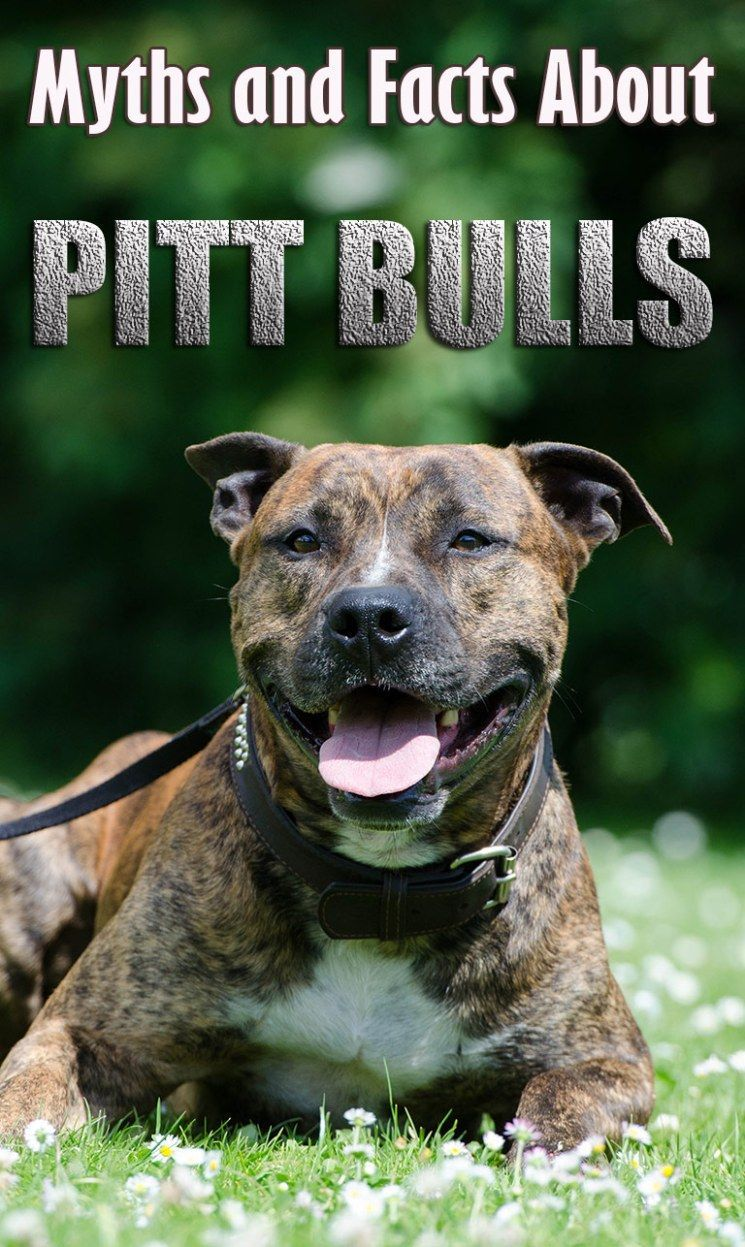 Pit Bulls Myths And Facts About Mighty Pit Bulls Pitbull
