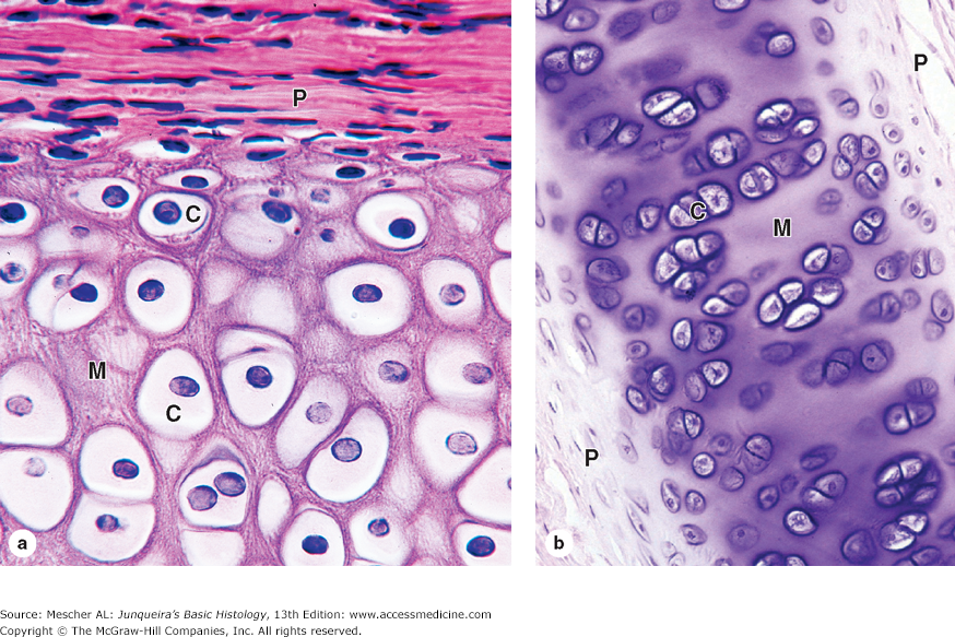 Histology Hyaline Cartilage P Perichondrium C Chondrocyte In