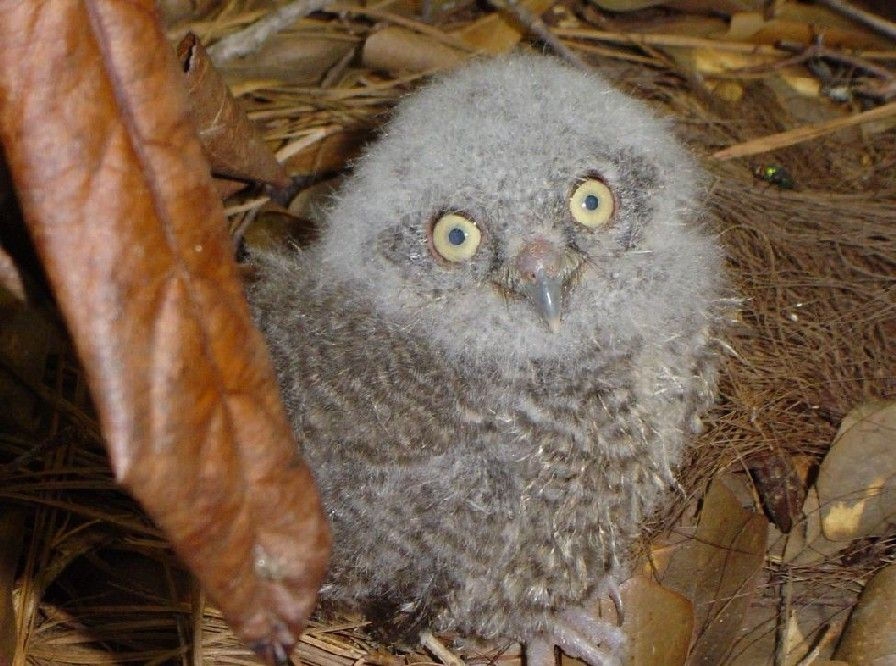 yellow eyes | Baby owls, Cute baby owl, Owl pictures