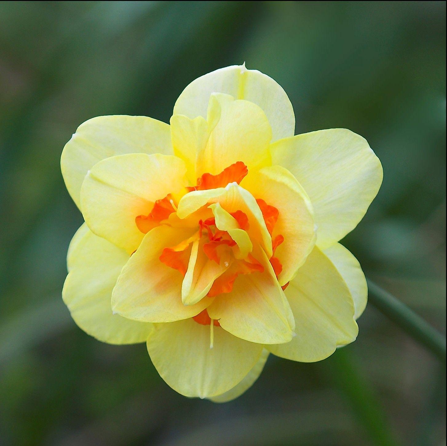 Лучшие сорта прекрасных нарциссов   Цветок нарцисс ...
