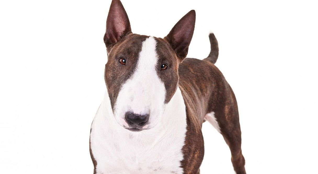 Miniature Bull Terrier Dog Breed Information Miniature Bull