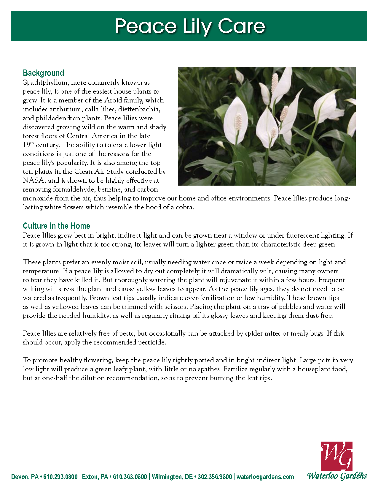 Peace Lily Plant Care House Plant Care Peace Lily