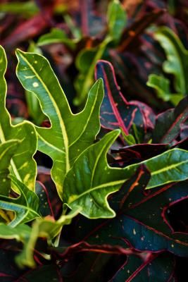 How to Grow Crotons From Cuttings
