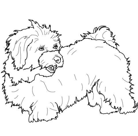 Havanese Coloring Page Mit Bildern Malteser Hund Malteser Hunde