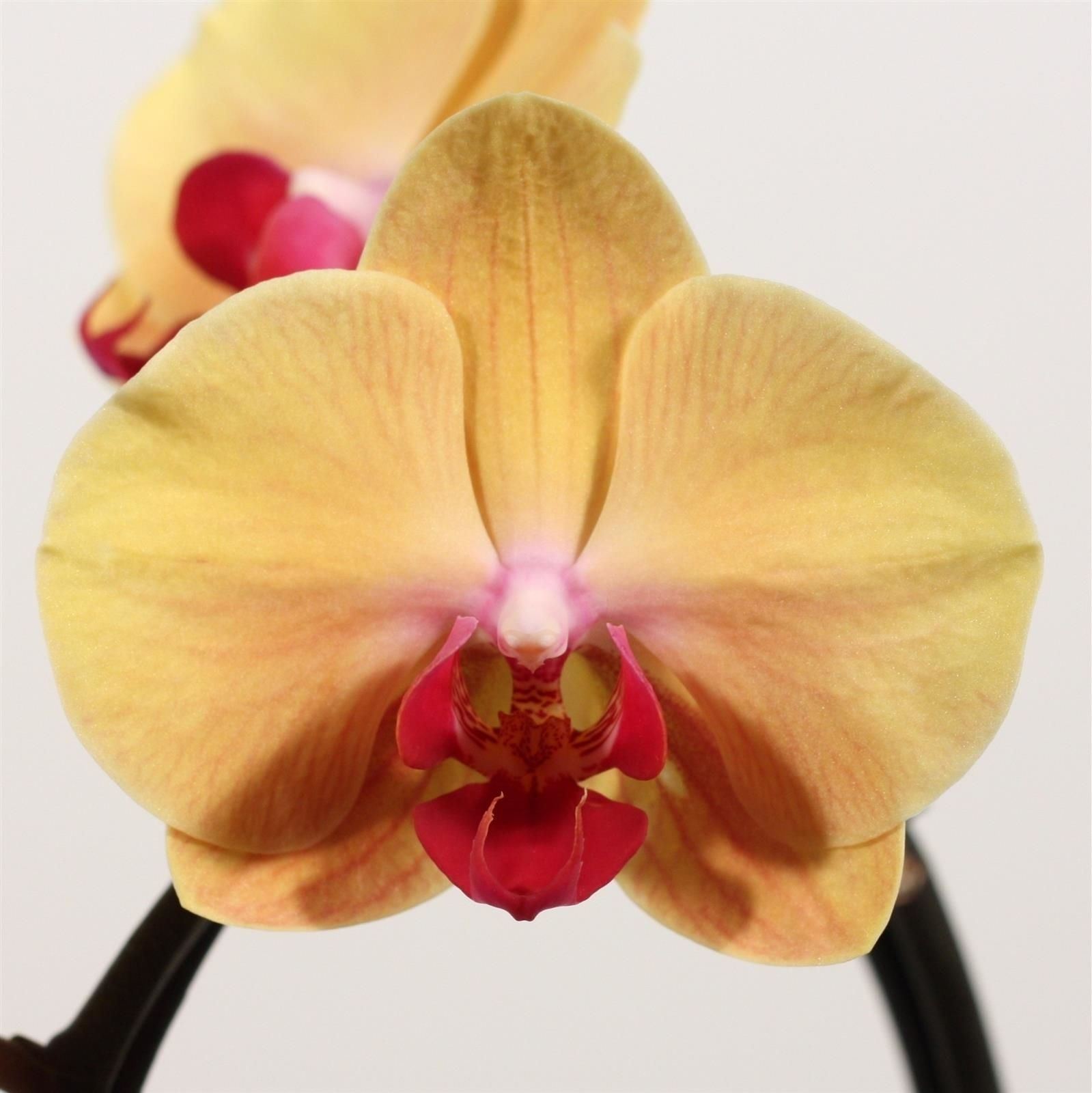 орхидеи голд раш фото где они